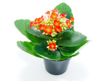 Red kalanchoe in pot Stock Photography