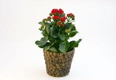 Red Kalancoe. Red flower in top named kalancoe Stock Photos