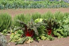 Red kale. kale. kale growing in a garden Stock Photos