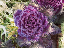 Red Kale Royalty Free Stock Images