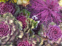 Red Kale. Kale is listed as one of the world`s healthiest food stock photo
