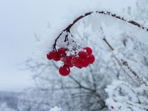 Red Kalina and in winter decoration is beautiful. One of the most beautiful and useful for man plants - Kalina red - especially tasty after the first frost royalty free stock photo