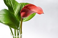 Red kalla with a green striped leafs Royalty Free Stock Photo