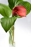Red kalla with a green striped leafs in a vase Stock Images