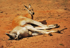 Red kangaroo. In relax position Royalty Free Stock Photo
