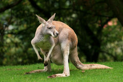Red Kangaroo. Eat, wildlife and zoo Royalty Free Stock Images