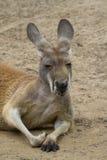 Red kangaroo. Red cangaroo ( Macropus rufus) taking a nap royalty free stock photo