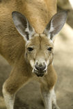 Red Kangaroo 2 Stock Images