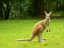 Red Kangaroo. (Macropus rufus) looking at you on the grass Stock Image