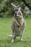 Red kangaroo. The stainding red kangaroo in the grassland Royalty Free Stock Photo