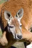 Red Kangaroo. A closeup portrait of an Australian Red Kangaroo Stock Photos