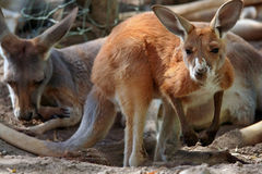 Red Kangaroo. In a herd Stock Photography
