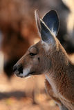 Red Kangaroo, Australia Stock Photography