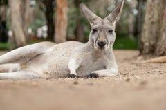 Red Kangaroo, Australia Stock Photos
