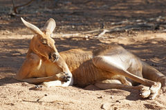 Red Kangaroo, Australia Stock Images