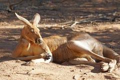 Red Kangaroo, Australia Stock Images