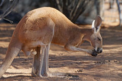 Red Kangaroo, Australia Royalty Free Stock Image