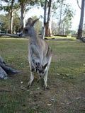 Red kangaroo with a baby.. Australia Stock Photography