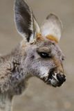 The red kangaroo baby (Macropus rufus) Stock Photo