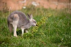 Red kangaroo baby Royalty Free Stock Photo