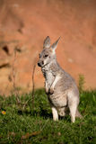 Red kangaroo baby Stock Photography