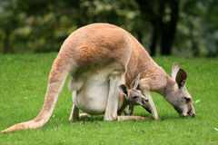 Red kangaroo with a baby in your pocket Royalty Free Stock Photos