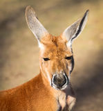 Red Kangaroo Royalty Free Stock Image