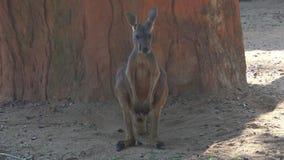 Red kangaroo close-up. Chiang Mai, Thailand. Red kangaroo close-up. Zoo Chiang Mai, Thailand stock footage