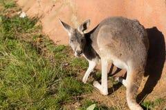 Red kangaroo Royalty Free Stock Images
