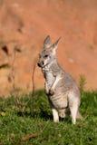 Red kangaroo Royalty Free Stock Photo