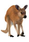Red Kangaroo Stock Photos