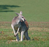 A Red Kangaroo Deciding His Next Move Stock Photo