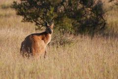 Red kangaroo Royalty Free Stock Photos