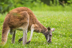 Red Kangaroo eating grass in field Royalty Free Stock Photos