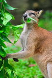 Red kangaroo enjoying its food Royalty Free Stock Photo