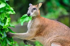 Red kangaroo enjoying its food Royalty Free Stock Image