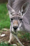 The red kangaroo female closeup (Macropus rufus). The red kangaroo (Macropus rufus) is the largest of all kangaroos, the largest terrestrial mammal native to Stock Photo