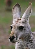 The red kangaroo female closeup (Macropus rufus). The red kangaroo (Macropus rufus) is the largest of all kangaroos, the largest terrestrial mammal native to royalty free stock photo