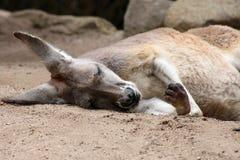 Red Kangaroo sleeping Royalty Free Stock Image