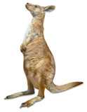 Red Kangaroo isolated Royalty Free Stock Images