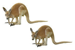 A Red Kangaroo Isolated Stock Photos