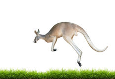 Red kangaroo jump on green grass isolated. On white background Stock Image