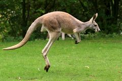 Red Kangaroo Jumping Royalty Free Stock Images