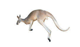 Red kangaroo jumping. Isolated on white background Royalty Free Stock Photos