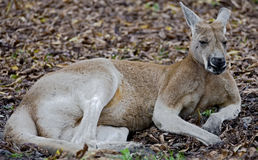 Red kangaroo 1 Royalty Free Stock Photo