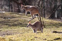 Red kangaroo, Macropus rufus in a german zoo royalty free stock images