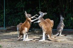 Red kangaroo, Macropus rufus in a german park