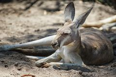 Red Kangaroo, Macropus rufus. Photo was taken in Australia Stock Photography
