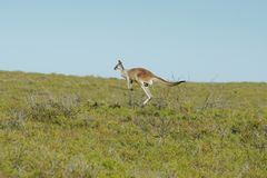 Red Kangaroo, Macropus rufus. Photo was taken in the Nambung National Park, Western Australia Royalty Free Stock Image