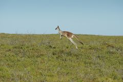Red Kangaroo, Macropus rufus. Photo was taken in the Nambung National Park, Western Australia Stock Image